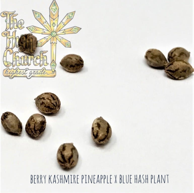 Blue-berry Kashmir Kush Seeds