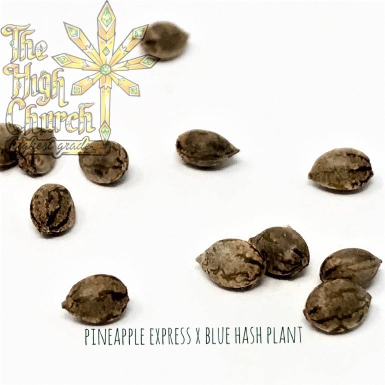 Pineapple Hash Plant Seeds