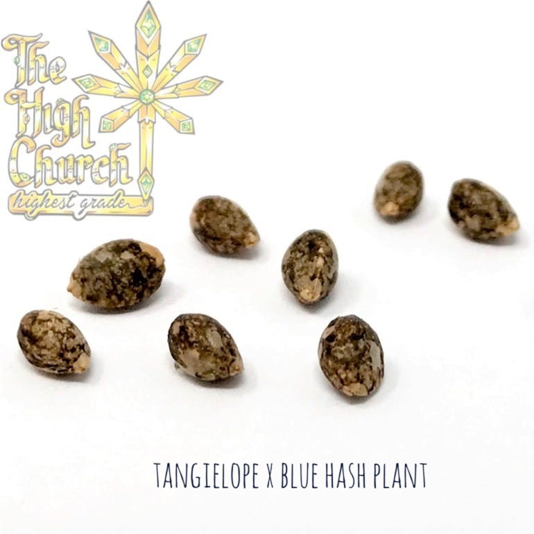 Blue Tangielope Seeds
