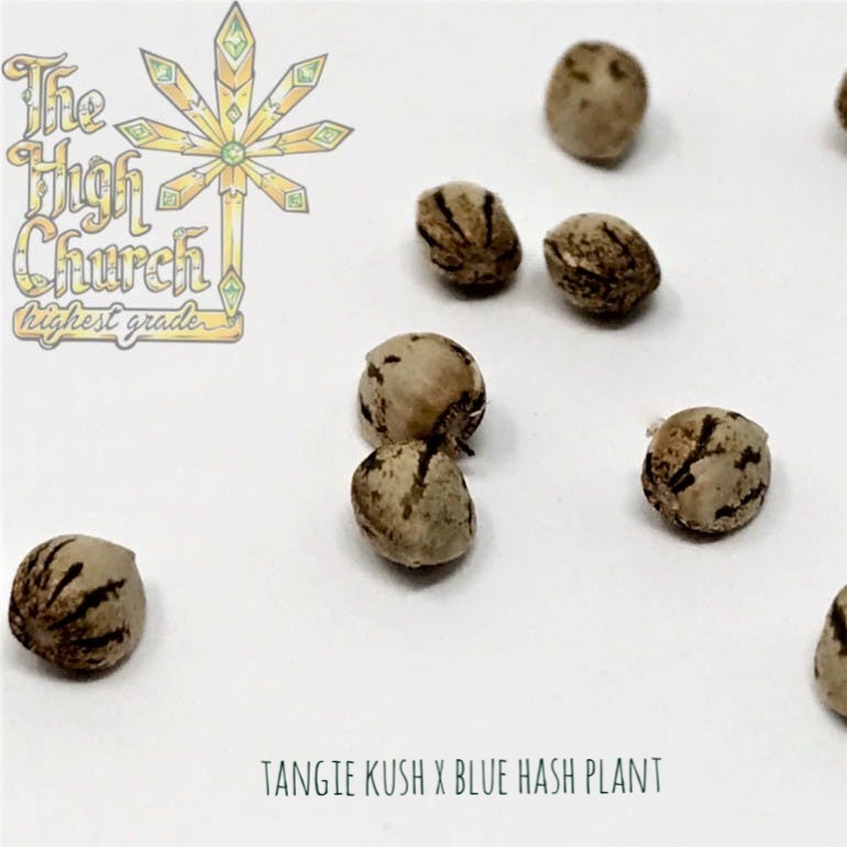 Blue Tangie Kush Seeds
